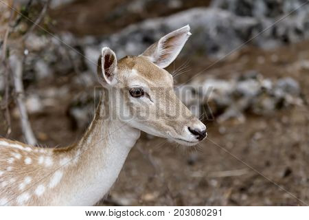 Spotted deer, female (Axis axis) in the natural habitat (Macedonia, northwest Greece)