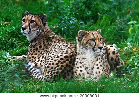 Two cheetahs stupid from inaction.