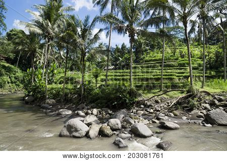 terraced ricefields in front of the river with palmtrees, Sayan Terraces, Ubud, Bali, Indonesia