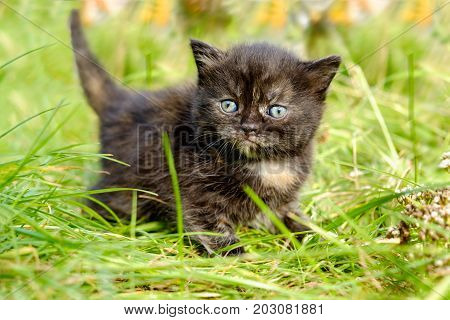 Cute adorable meowing tabby black white kitten outdoors
