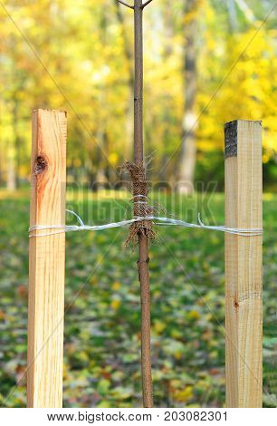 How to Plant a Tree Correctly with Two Stakes. Planting Trees in Autumn. If your tree is still a sapling use a stake to help it grow for about the first year of its life.