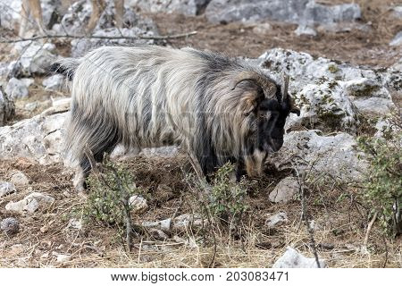 Long-haired mountain goat in the natural habitat (Macedonia, northwest Greece)