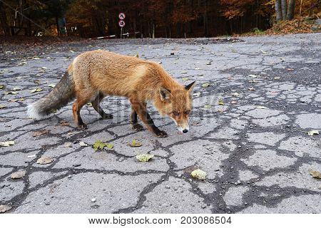Resting European red fox (Vulpes vulpes) lying on the ground. Red Foxes are adaptable and opportunistic omnivores and are capable of successfully occupying urban areas.