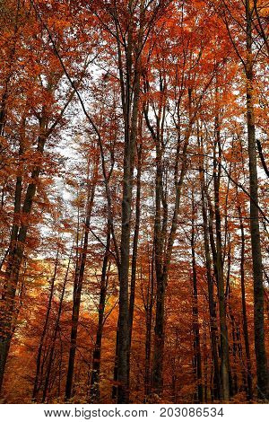 Colorful autumn trees in forest. Autumn nature landscape- autumn trees near the forest stream. Autumn trees and red fallen autumn leaves carpet in cloudy weather - autumn colorful landscape in vintage colors. Forest autumn landscape