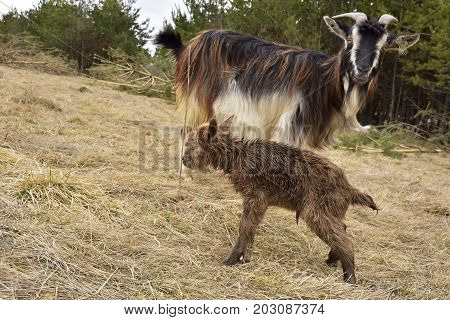 goat kids. a goat with kids on a green meadow on a sunny spring day