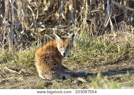 Red Fox Standing In The Field ( Vulpes )