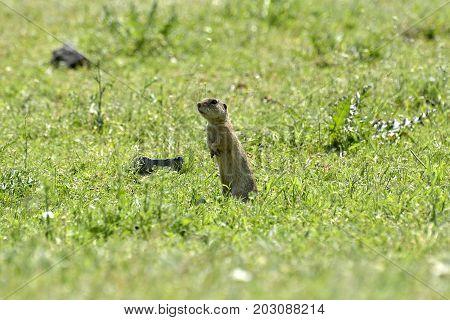 Cute European Ground Squirrel On Field (spermophilus Citellus)cute European Ground Squirrel On Field