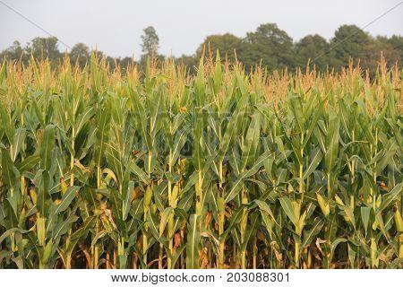 Maze (corn) growing in on a farm in rural Michigan