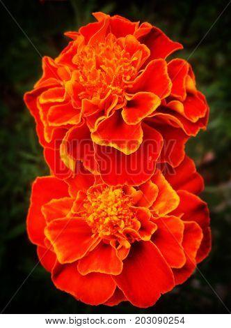 dos preciosas flores naturales de color naranja