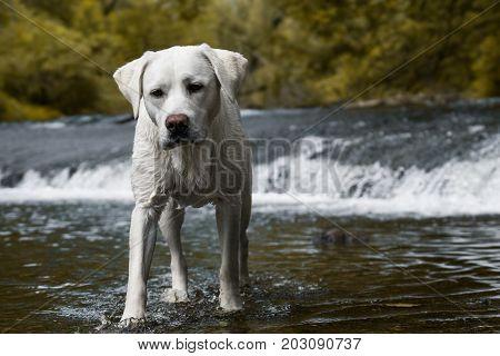 Labrador retriever dog standing in a stream
