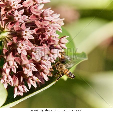 Isolated Photo Of A Honeybee Flying Near Flowers