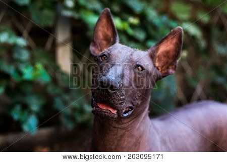 Close up portrait One Mexican hairless dog (xoloitzcuintle Xolo) on a background of green grass and trees
