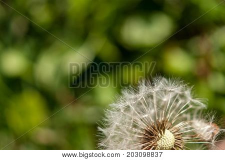 A single dandelion with some seeds blown away on green background in late summer