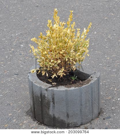 Leaves of buxus turn yellow because of the sucking damage. Boxwood illness.