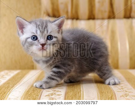 A small white and gray Scottish rock kitten on the couch.