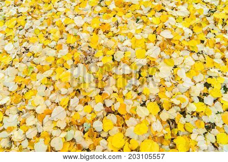 Alder tree fall yellow leaves change background
