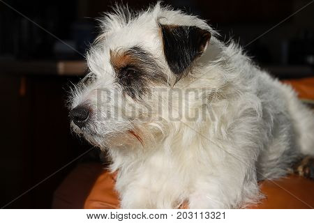 Jack Russell dog, white fuzzy coat, puppy, profile looking