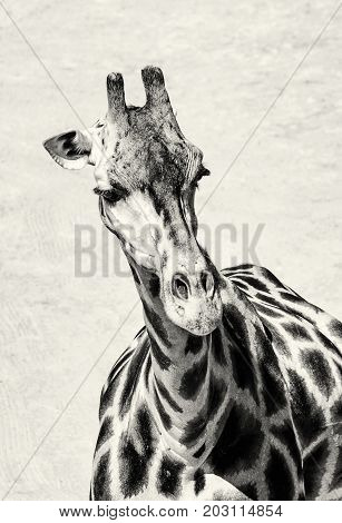 Portrait of Rothschild's giraffe - Giraffa camelopardalis rothschildi. Animal scene. Beauty in african nature. Black and white photo. Vertical composition.