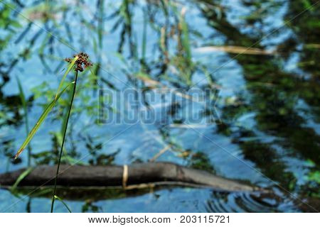 Common rush growing in sparkling blue water.