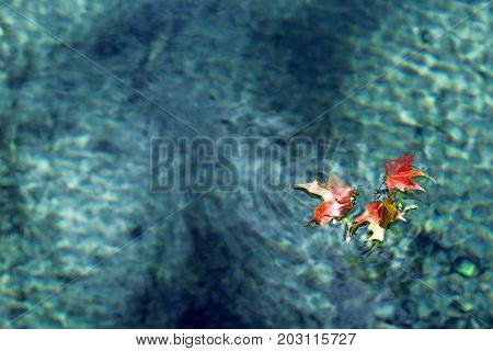 Fall maple leaves float on bright blue sparkling water.