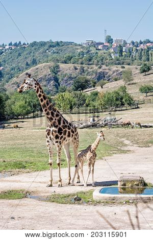 Rothschild's giraffe with cub at Prague zoo. Animals of african safari. Giraffa camelopardalis rothschildi. Beauty in nature.