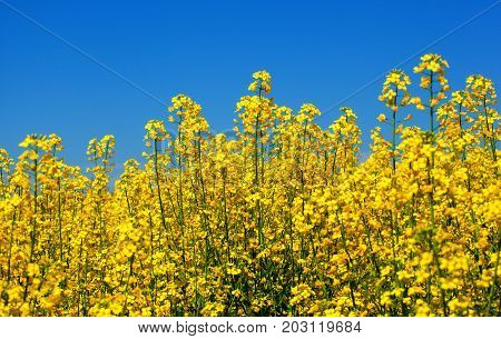 Beautiful flowering rapeseed field under the blue cloudless sky on a clear spring day.