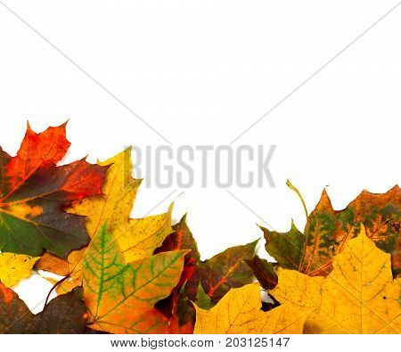 Autumn Multicolor Maple-leafs On White