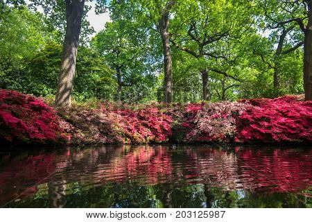Azalea plants in reflected in a pond in Isabella plantation in Richmond Park