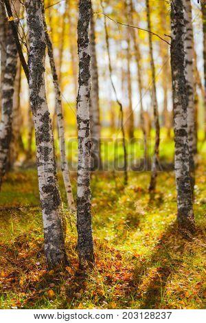 autumn birch forest backgroundyellow olden  autumn, birch tree orest background.