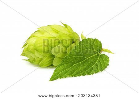 Fresh green hop isolated closeup with leaf on white background.