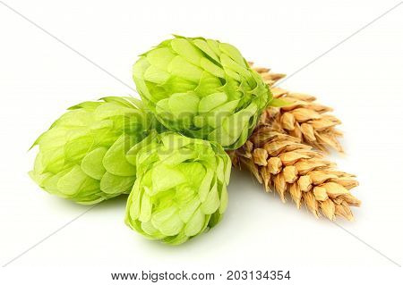 Fresh green hops ears of barley and wheat grain.Isolated closeup on white background.