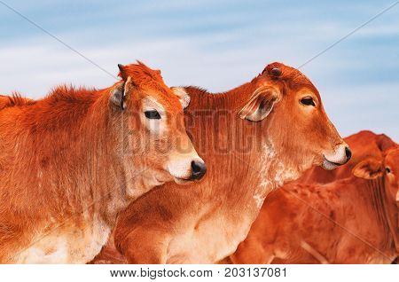 Beautiful Brown Calves On A Herd Of A Livestock