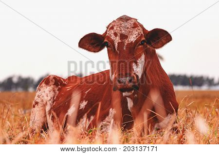 Milky Cow Lying On The Grass Of A Farm