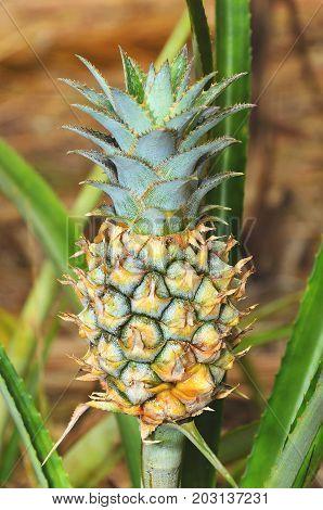 Plant With Pineapple Fruit Crescend, Unripe Fruit