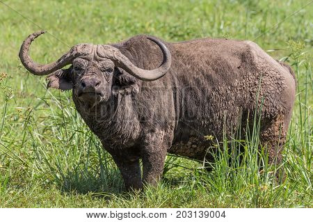 African Buffalo or Cape buffalo, Syncerus caffer, in Ngorongoro Crater national park, Tanzania.