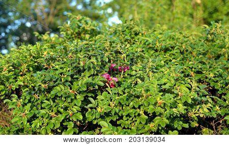 Beautiful wild briar flower bush close up.