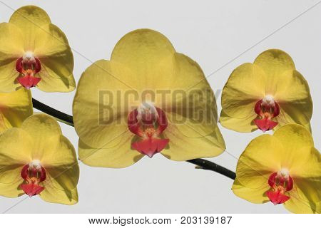 a stem of yellow orchids on a white background