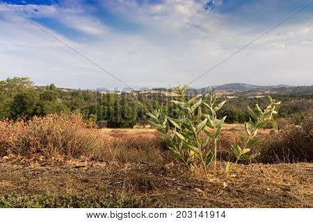 Early morning sun light on southern California hills in autumn, green common milkweed, asclepias syriaca, monarch butterfly food plant in foreground poster