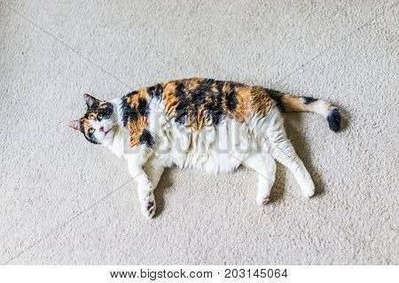 Closeup Of Lazy Calico Cat Lying On Carpet Looking Up In Home Living Room