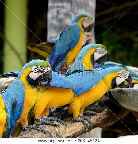 Blue and Gold Macaw (Ara ararauna). Natural concept.