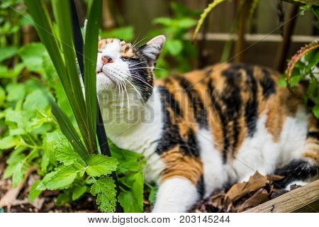 Closeup Of Calico Cat Lying In Bed Of Catnip Greens In Outdoor Garden Rubbing Against Pole