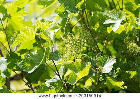 shallow DOF vine sprout with young grape cluster