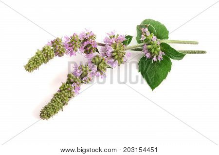 fresh peppermint herb with flowers isolated on white background.