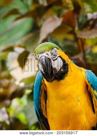 Blue-and-Gold Macaw  (Ara ararauna), perched among lush tropical greenery