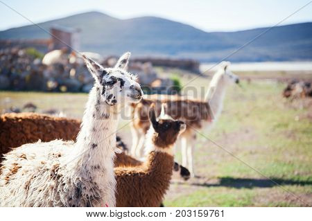 Llama in the Andes mountains Altiplano Bolivia.
