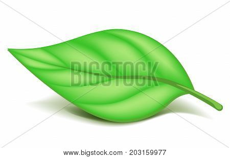 Oblonged leaf on small stem lies in horizontal position isolated cartoon vector illustration on white background. Plant part where photosynthesis goes. Piece of foliage with saturated green color.
