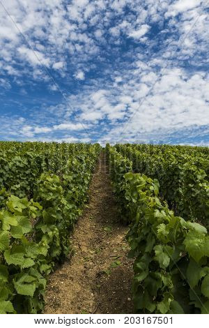 Champagne vineyards with vines in the Champagne districht France on a summers day with blue sky.