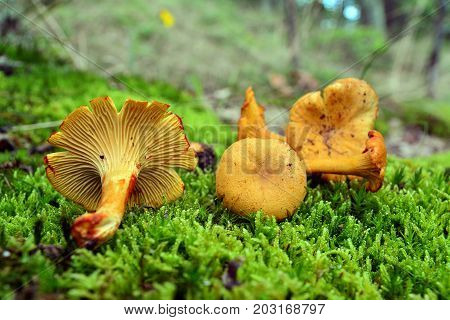 cantharellus cibarius the chanterelle mushroom on the ground