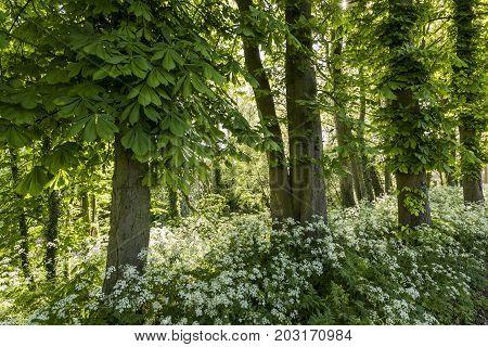 Chesnut trees with flut herb in morning light.