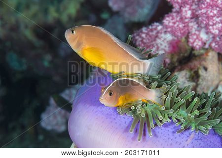 The Couple Pink Skunk Clownfish (Amphiprion akallopisos)